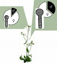 Parental conflict in plants: Maternal factors silence paternal genes