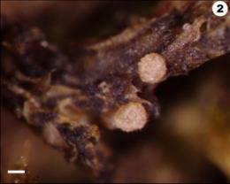 Rare Pennsylvania fungus is named for Philadelphia botanist