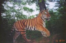 Russian and US veterinarians collaborate to solve mysterious wild tiger deaths