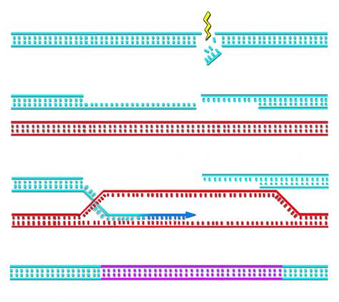Safeguarding Genome Integrity Through Extraordinary DNA Repair