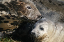 Seal study shows diverse parenting styles