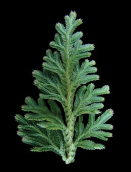 Selaginella genome adds piece to plant evolutionary puzzle