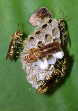 Social wasps show how bigger brains provide complex cognition