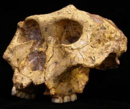 Study: Ancient hominid males stayed home while females roamed
