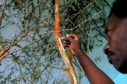 Sudan produced 55,000 tonnes of gum arabic in 2010 and is targeting 100,000 tonnes in 2012