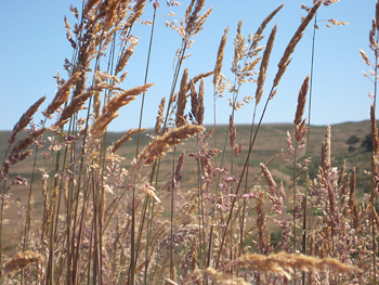 Warming climate could give exotic grasses edge over natives