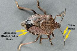 Researchers attack a very, very bad stink bug