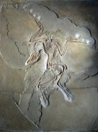 Archaeopteryx was first bird after all