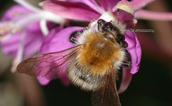 Citizen scientists help reveal bumblebee decline