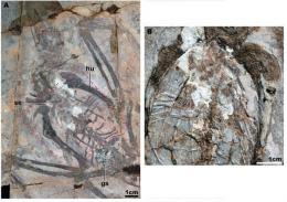 Early cretaceous birds with crops found in China
