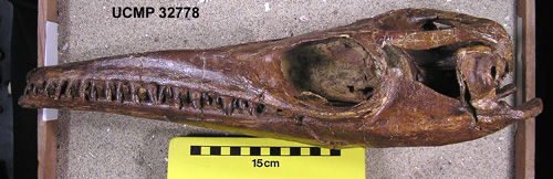 Endogenous proteins found in a 70-million-year-old giant marine lizard