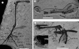 New material of Early Cretaceous ornithurine bird Gansus supporting it's a volant and diving bird
