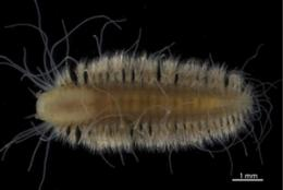 New species of deep-sea worms named as part of contest