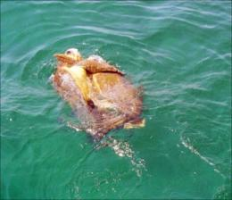 Satellite tracking of sea turtles reveals potential threat posed by manmade chemicals