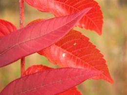 Super-tough seed coat keeps Michaux's sumac on critically endangered list