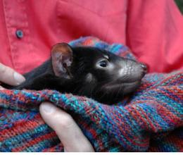 Tasmanian devil's genome sequenced