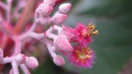 Petenaeaceae - a new family of flowering plants