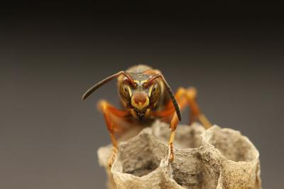 Like humans, the paper wasp has a special talent for learning faces