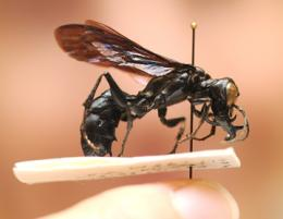 Entomologist discovers new wasp species