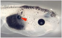 Researchers discover that changes in bioelectric signals cause tadpoles to grow eyes in back, tail