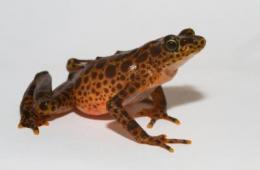Scientists find deadly amphibian disease in the last disease-free region of central America