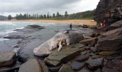 A 12 tonne Sperm whale carcass washed up on Sydney's Northern Beaches is proving difficult to shift