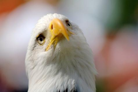A bald eagle is seen in 2007