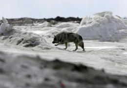 A dog walks along the frozen Arctic Ocean in Browerville, Alaska, in 2006
