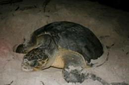 Africa's sea turtles need passports for protection