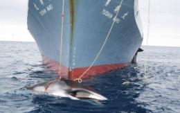 Agriculture and fisheries minister Michihiko Kano said Japan will go ahead with its annual whale hunt in Antarctica