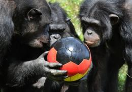 A group of chimpanzee play with a football