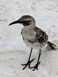A hitchhiker's guide to the Galápagos: co-evolution of Galápagos mockingbirds and their parasites