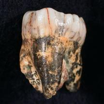 A hominid tooth found in South Africa