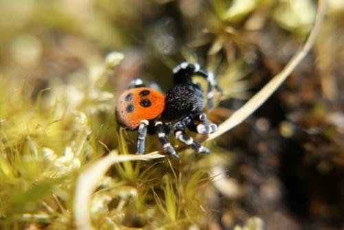 A ladybird spider, Britain rarest spider species