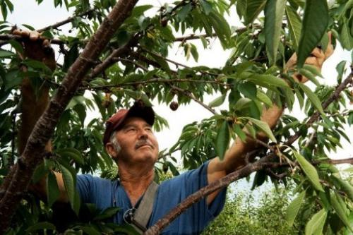 Albert DeWees, the Forman of the Catoctin Mountain Orchard, hand picks cherries in Thurmont, Maryland
