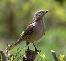 'Alien' eggs benefit mockingbirds