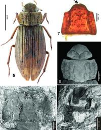 A living species of aquatic beetle found in 20-million-year-old sediments