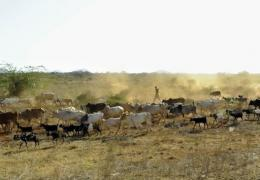 A man herds livestock in Maungu, a village some 304 kilometres southeast of the Kenyan capital, Nairobi