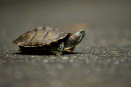 An alien species of turtle, the Red Eared Slider walks at the Ninoy Aquino Parks and Wildlife Center in Quezon City