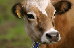An Argentine laboratory reportedly has created the world's first transgenic cow, named Rosita ISA