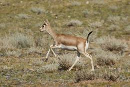 Ancient walls reveal evidence of mass gazelle slaughters