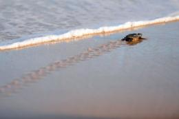 A newborn Loggerhead turtle