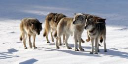 An isle royale wolves' gene pool