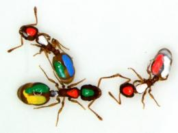 Ants give new evidence for interaction networks