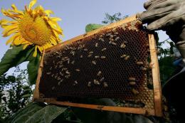 A Palestinian farmer checks a honey bee comb