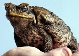 A poisonous cane toad sitting on a keeper's hand
