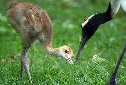 A red-crowned crane and its offspring feed in Nuremberg in 2007