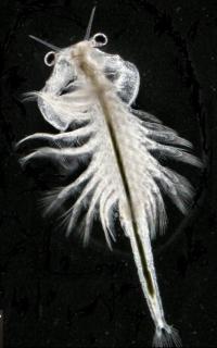 Artemia urmiana