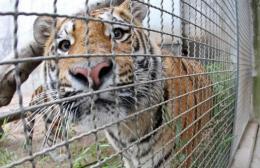 A Siberian tiger