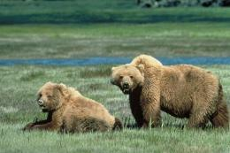 A US court has rules grizzly bears cannot be taken off the  Endangered Species Act protection list